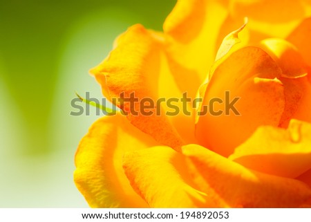 Nature. Closeup of beautiful blooming orange rose flower for background backdrop.
