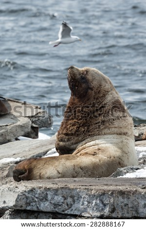Nature of Kamchatka: rookery Northern Sea Lion or Steller Sea Lion (Eumetopias Jubatus). Russia, Kamchatka Peninsula, Avachinskaya Bay, Petropavlovsk-Kamchatsky.