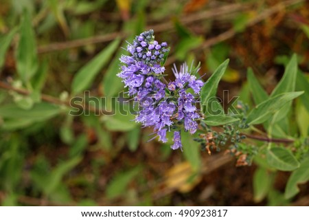Nature. Photo of Caryopteris incana flowers, close-up