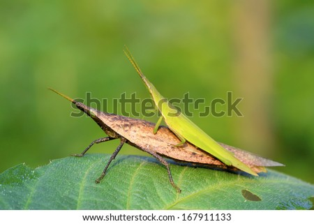 negative locust mating on green leaf in the wild