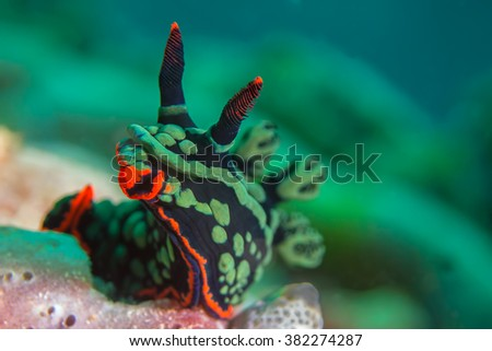 Nembrotha kubaryana, also known as the variable neon slug on hard coral