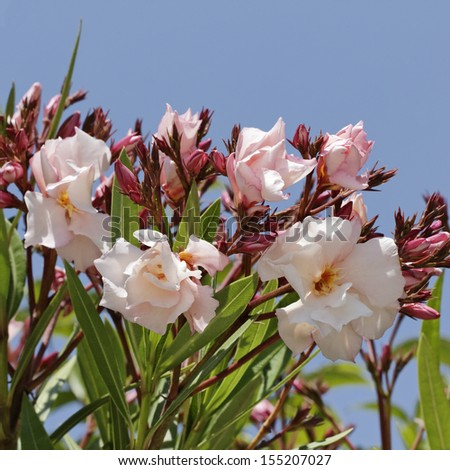 Nerium oleander oleander tree in southern france europe stock