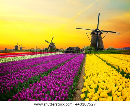 Netherlands scene - dutch windmill over colorful violet and yellow holland tulips field on sunset, Netherlands