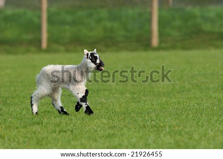 New born lamb running alone in a field in spring with its tongue out crying.