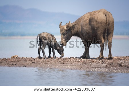 New born water buffalo with mother looking after closely, shot in their habitat , with lake and mountain range in the background.