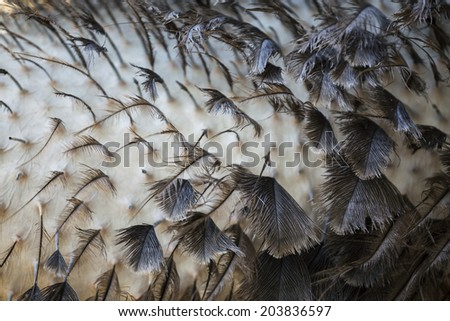 New Ostrich Feathers close-up texture background