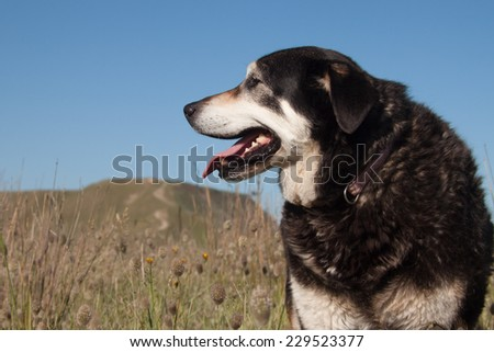 New Zealand Huntaway sheep dog standing in a coastal field of bunnies tails grass