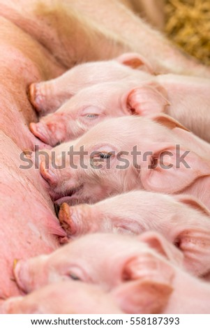 Newborn farrows eating sow's milk