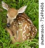 Newborn Whitetail deer fawn curled up in the grass. - stock photo