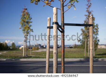 Newly planted trees at roadside, with three stakes for support