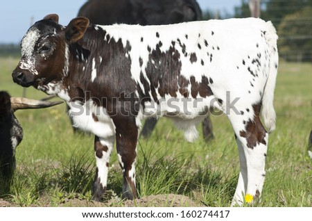 nguni calf stock photo