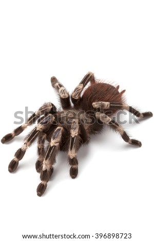 Nhandu chromatus or Brazilian red and white tarantula, close up isolated on white background