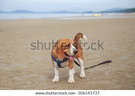 Nice beagle dog boy stand on the beach