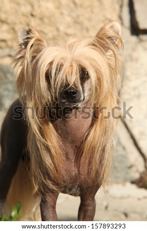Nice Chinese Crested Dog in front of stone wall looking at you