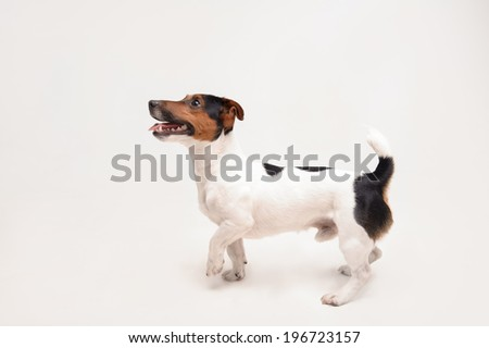Nice, cute dog Jack Russell terrier isolated on white background