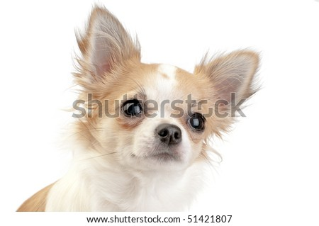 nice looking chihuahua portrait close-up  on white
