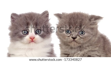 Nice pair of gray kittens isolated on white background