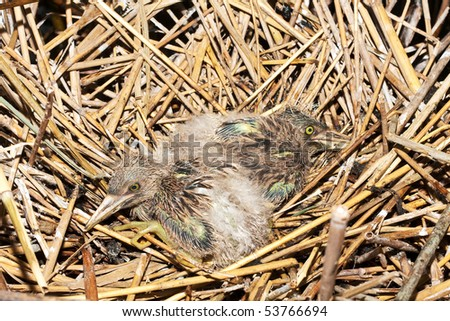 night-heron ( Nycticorax nycticorax ) nest with chicks