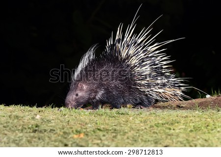 Nocturnal animals Malayan porcupine(Hystrix brachyura) in nature at Kaengkrajarn national park,Thailand