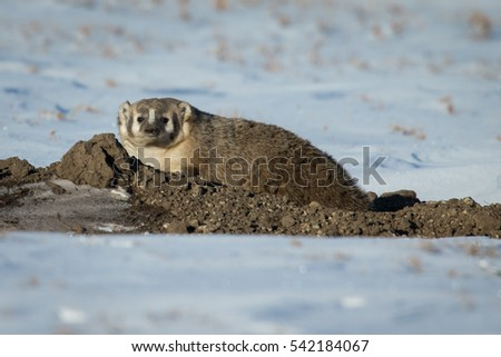 North American Badger sitting on a freshly dug burrow looking into camera with snow and prairie grass in background.