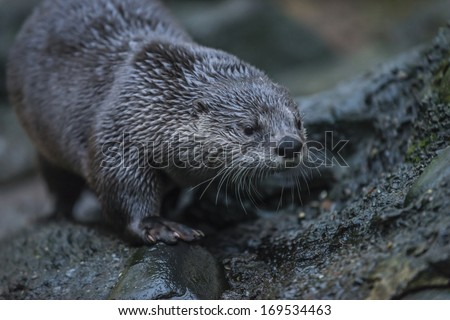 North American river otter (Lontra canadensis), also known as the northern river otter or the common otter