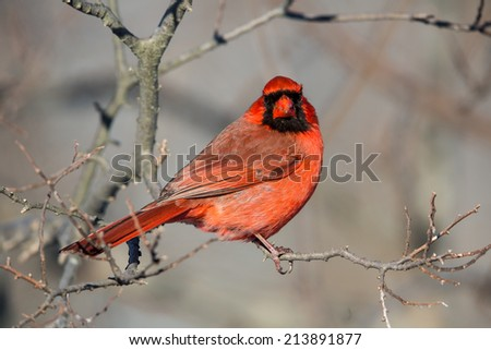 redbird latin singles Category: definition redbird on  respectively from the ancient greek and latin present participles that  that the divine – whether as a single god,.