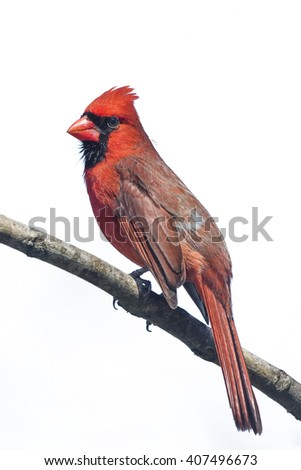 Northern Cardinal Perched on Branch (Isolated on White)