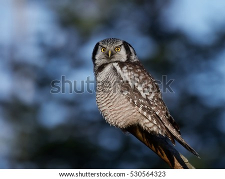 Northern hawk-owl (Surnia ulula) resting on a branch with vegetation in the background