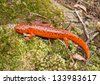Northern Red Salamander, Pseudotriton ruber - stock photo