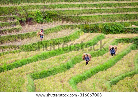 Northwest Vietnam, Sep 11, 2015: Farmers who are transporting rice from terraced fields to go home in Sapa, Vietnam