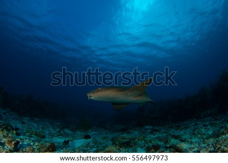 Nurse shark swimming in the blue Caribbean sea. The photo was taken by a scuba diver in Grand Cayman. The coral reef can be seen in the distance