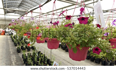 nursery flowers fresh flowers in the garden agriculture Serdang, Selangor, Malaysia