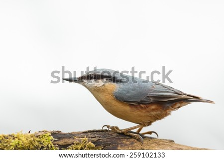 nuthatch on moss covered log isolated against white background
