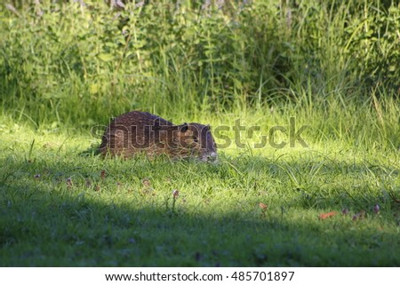 nutria, beaver rat on a meadow