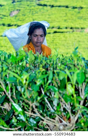NUWARA ELIYA, SRI LANKA -?? JANUARY 01: Tamil woman from Sri Lanka breaks tea leaves on tea plantation with the traditional tea plucking method on January 01 2017 at Labookellie in Sri Lanka