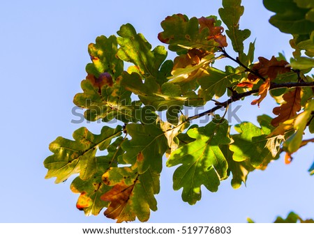 oak leaves on a branch close-up on a background of blue sky, autumn view from the yellow, red and green vegetation, sunny evening, beautiful background,