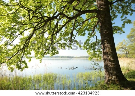 Oak on the edge of a lake on a spring morning.