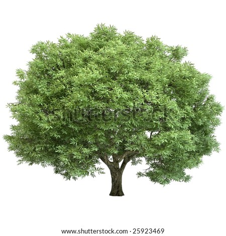 Oak tree isolated on white background