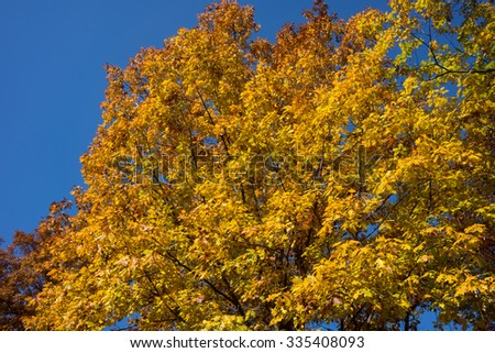 Oak with bright yellow leaves against clear blue autumn sky
