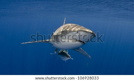 Oceanic Whitetip Shark Head On Blue Water