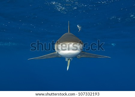 Oceanic whitetip shark swims directly at camera