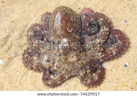Octopus in sea shallow water