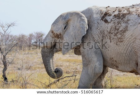 Old and sad elephant in close up with broken tusks, due to poaching and ivory business, Namibia. Endangered animals in a natural environment.