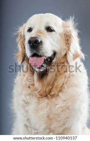 Old golden retriever dog isolated on grey background. Studio shot.