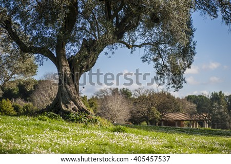 Old Olive tree cultivated in a Mediterranean farm