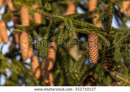 Old pine tree branches covered with pine cones. Christmas is coming symbol.