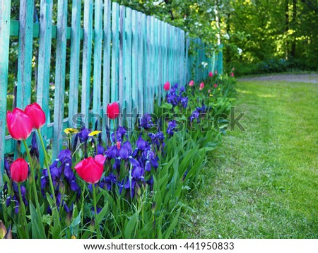 Old turquoise wooden fence and flower bed with pink tulips and violet irises