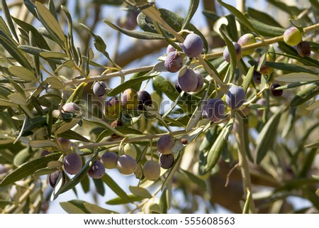 Olive branch and tree