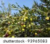 Olive tree with many colorful fruits - stock photo