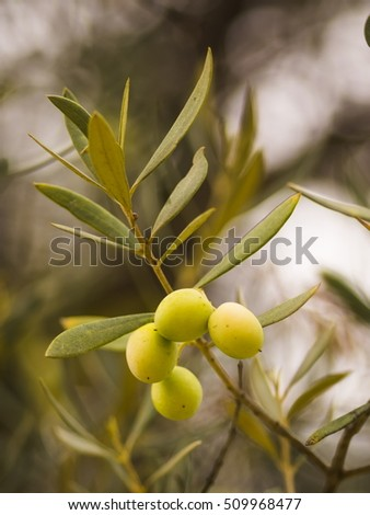 Olives with leaves on a natural blurry background.